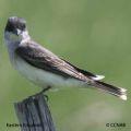 flycatchers, kingbirds, pewees, phoebes