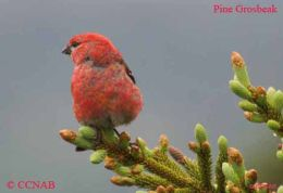 An adult Pine Grosbeak looking out fron a conifer close to the Atlantic Ocean at Trepassey