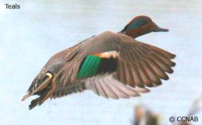 A male Green-winged Teal flying along the Ottawa River at Bate Island, Ottawa, Ontario, Canada.