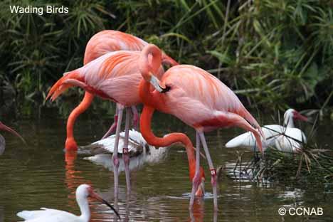 ibises