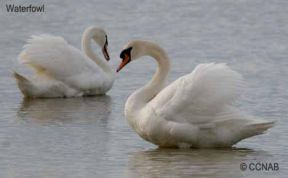 Two Mute Swans on the shores of Lake Claire, Ontario, Canada