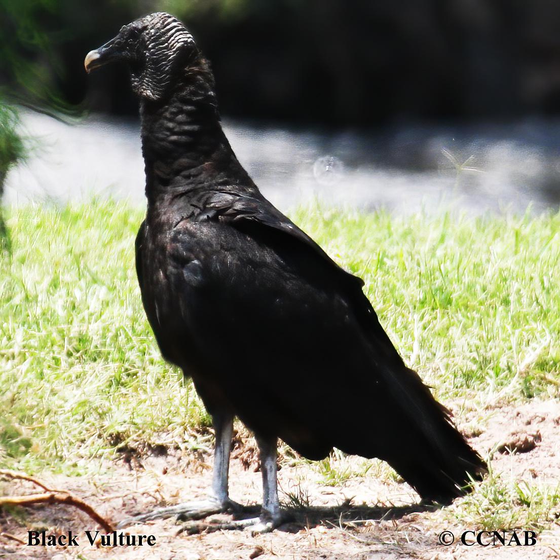 Black Vuture
