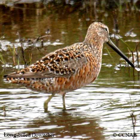 Long-billed Dowitcher.