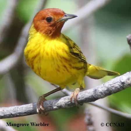 Mangrove Warbler.