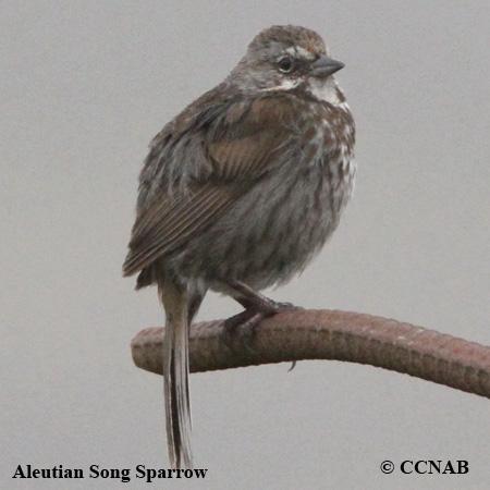 Aleutian Song Sparrow