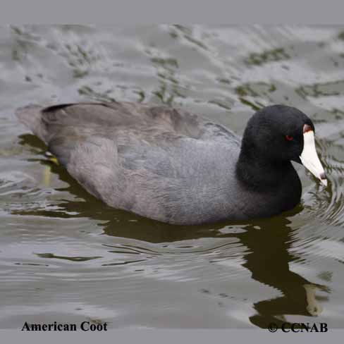 coots, picture of coots