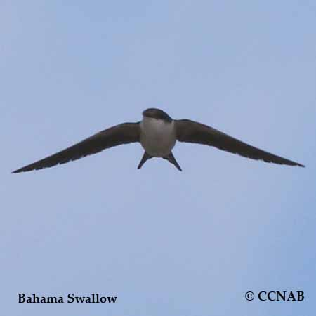 Bahama Swallow