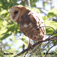 'Owls' from the web at 'http://www.birds-of-north-america.net/images/Barn_Owl_T.jpg'