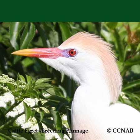 Egret Species