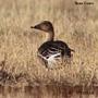 Tundra Bean Goose