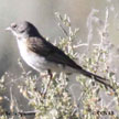 Bell's Sparrow