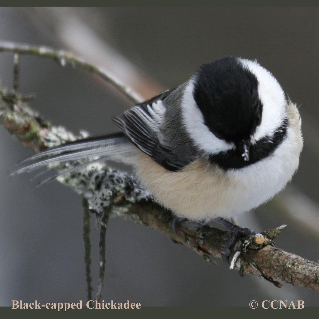 Blackcapped Chickadee North American Birds Birds of North America