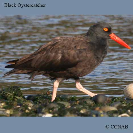 picture of oystercatchers