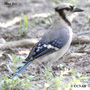 Blue Jay South Eastern