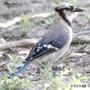 Southeastern Blue Jay
