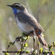 Bluethroate (red spotted)