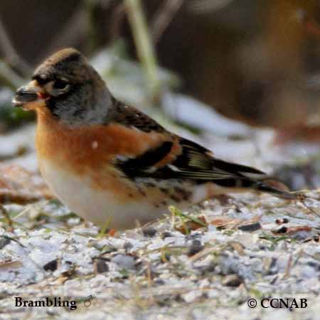 French North American Bird Names