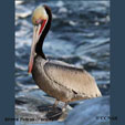 Brown Pelican (Pacific)