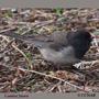 Cassiar Junco