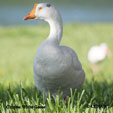 Domestic Chinese White Goose