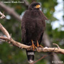 Common Black Hawk