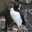 Bridled Common Murre