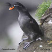 Crested Auklet