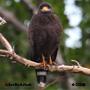 Cuban Black-Hawk