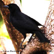 Cuban Blackbird