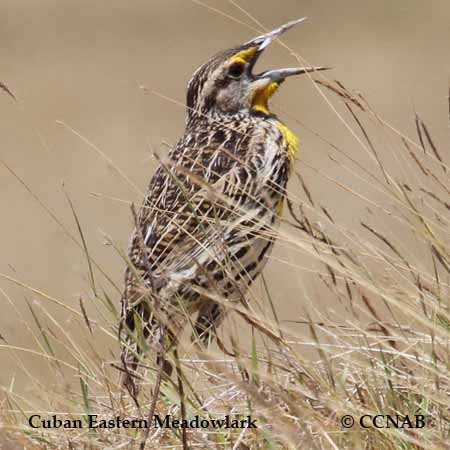 Cuban Eastern Meadowlark
