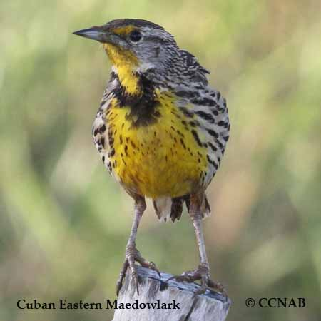 Cuban Eastern Meadowlark