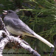 Dark-eyed Junco (White-winged)