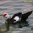 Domestic Muscovy Duck