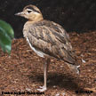Double-striped_Thick-knee