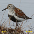 Dunlin (Pacific)