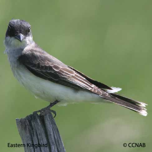 flycatchers, kingbirds, pewees, phoebes