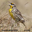 Eastern Meadowlark (Cuban)