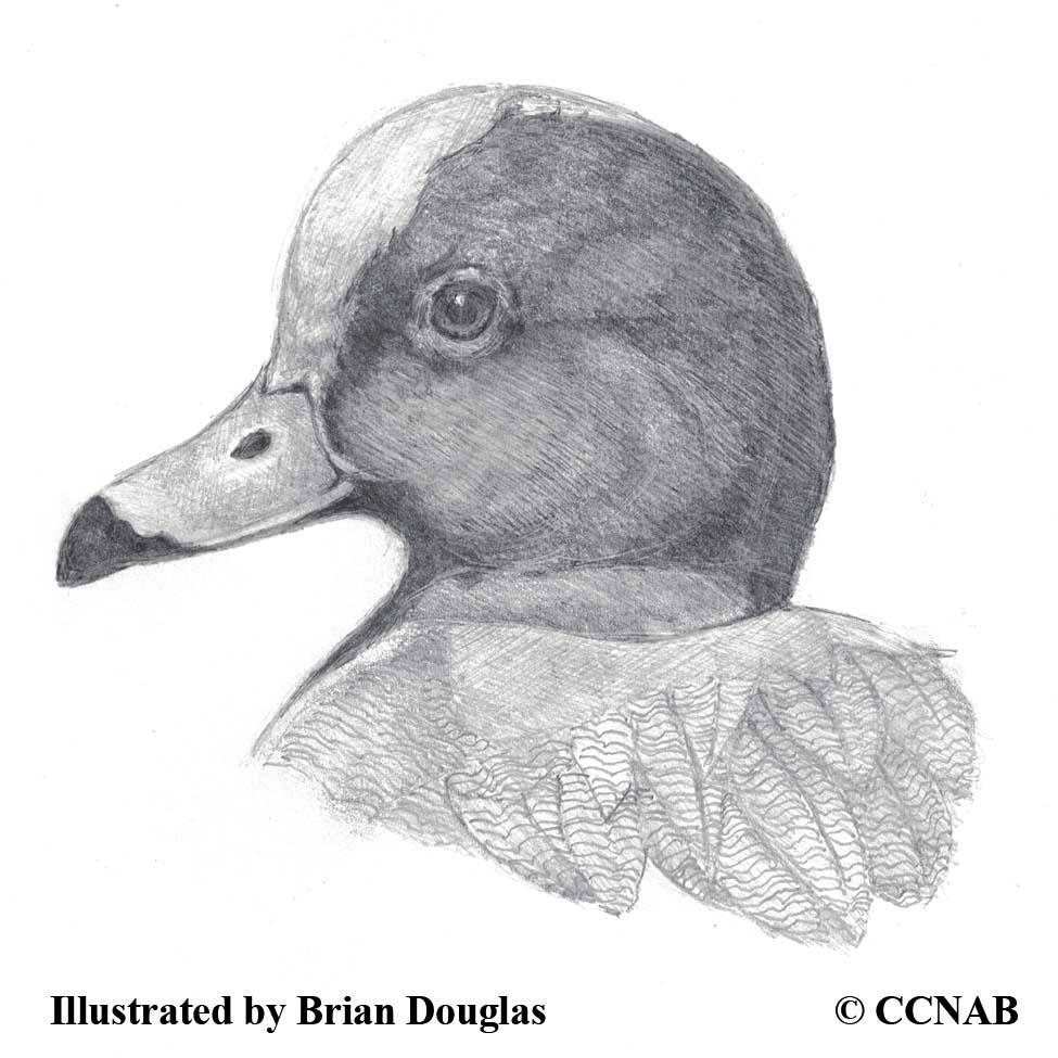 Eurasian Ducks