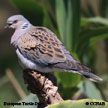 European Turtle-Dove