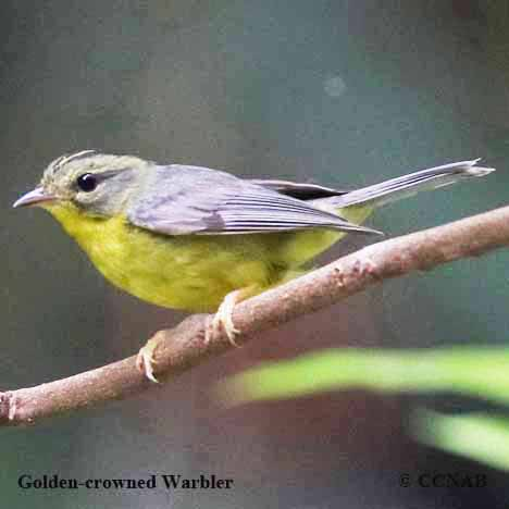 Mexican Warblers