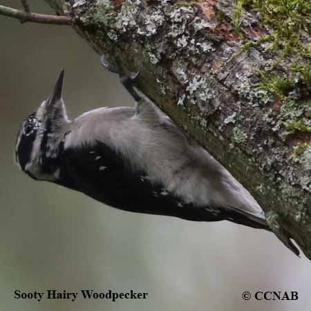 Sooty Hairy Woodpecker