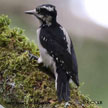 Hairy Woodpecker (Pacific Northwest)