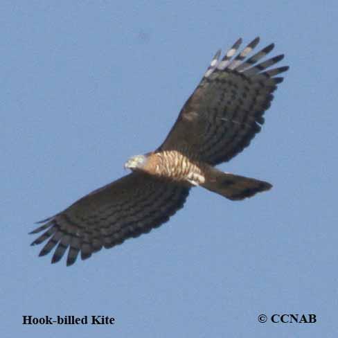 Hook-billed Kite