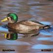 Hybrid Ducks