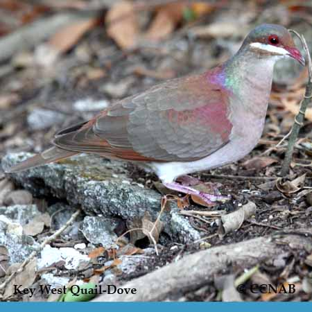 Key West Quail-Dove