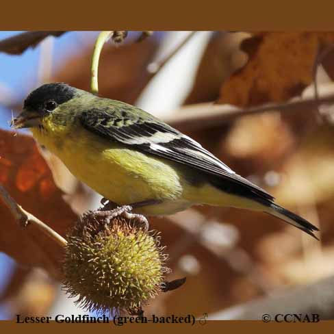 Lesser_Goldfinch (green-backed)