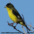 Lesser Goldfinch (green-backed)