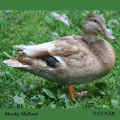 Manky Mallard