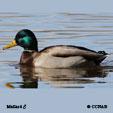 North American Ducks