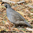 Northern California Quail